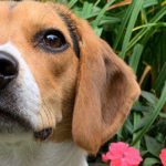 Beagle named Coco